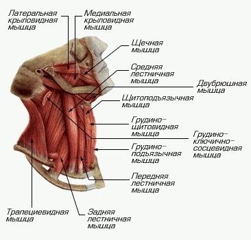 схема как укрипить мышцы